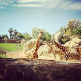Giraffes. Biopark, animals, giraffe, family, nature Stock Images