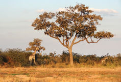 Giraffes in Botswana. Evening scenery including two giraffes at the Savuti Marsh area in the Chobe National Park in Botswana, Africa Royalty Free Stock Images
