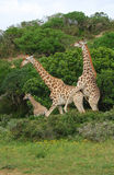 Giraffes breeding stock photo