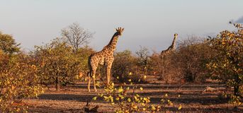 Two giraffes in evening light taken in bush Botswana royalty free stock photo