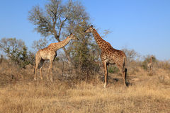 Giraffes busy grazing in Kruger National Park, South Africa. Three giraffes busy grazing in the early morning in the Kruger National Park, South Africa Stock Images