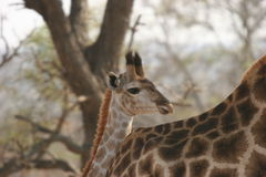Giraffes calf. The giraffe calf was in the Reserve Stock Image