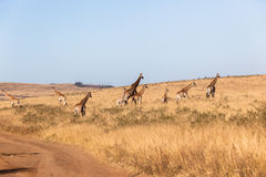 Giraffes Calf Landscape Wildlife Animals Royalty Free Stock Photos
