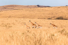 Giraffes Calf Landscape Wildlife Animals Stock Image