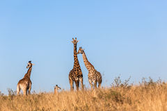 Giraffes Calf Protect Wildlife Animals Stock Photography
