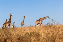 Giraffes Calf Protect Wildlife Animals Stock Image