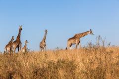 Giraffes Calf Wildlife Animals Stock Image