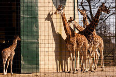 Giraffes in captivity. Royalty Free Stock Photo