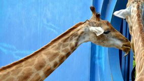Giraffes chewing food in zoo stock photos