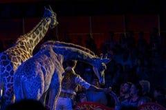 Giraffes in circus Stock Photos