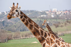 Giraffes in the city Stock Photo