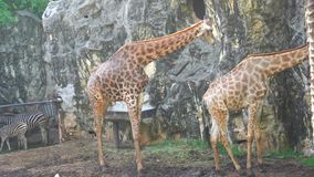 Giraffes are cleaning. The male giraffe was cleaning a female giraffe stock video footage