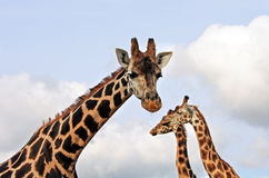 Giraffes close up Stock Images