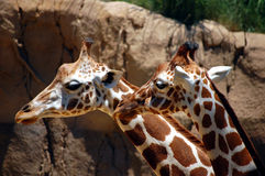 Giraffes closeup Stock Photos