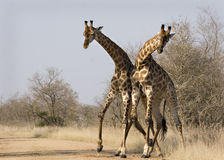 Giraffes combattant dans Kruger Image stock