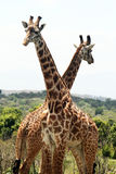 Giraffes composition Royalty Free Stock Photos