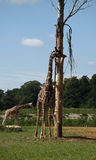 Giraffes at Cotswold wildlife park Royalty Free Stock Image