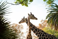 Giraffes couple. Picture of a two beautiful giraffes Royalty Free Stock Photo