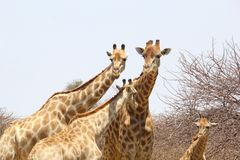 Giraffes family couple young giraffes, Namibia Royalty Free Stock Images
