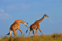 Giraffes courting on African plains. Two Giraffes courting along the plains of South Africa Royalty Free Stock Photography
