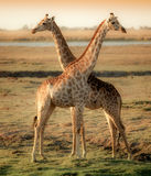 Giraffes in cross in African delta Royalty Free Stock Photos