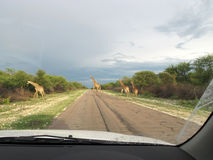 Giraffes crossing the road Royalty Free Stock Photo