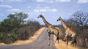 Giraffes crossing the road,  in Kruger National park Royalty Free Stock Photos