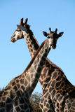 Giraffes crossing their neck Stock Photo