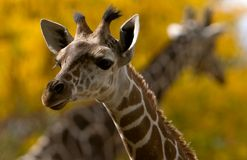 Giraffes cruzados Fotos de Stock
