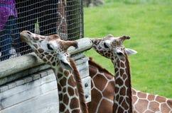 giraffes curiosos fotografia de stock royalty free