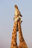 Giraffes d'anneau de serrage Photo stock