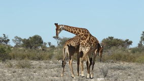 Giraffes da luta video estoque