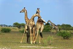 Giraffes da luta fotos de stock royalty free