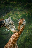 Giraffes dans l'amour Photo stock