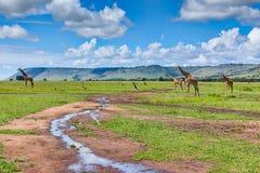 Giraffes dans le masai Mara Photos libres de droits