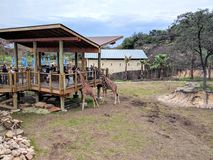 Giraffes dans le zoo Photo stock