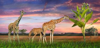 Giraffes dans un horizontal Photo stock