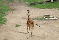 Giraffes dans un zoo Photo stock