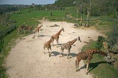 Giraffes dans un zoo Photo stock