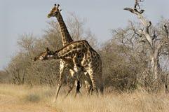 Giraffes de combat Images libres de droits