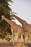 Giraffes de Sahel, Niger Images libres de droits