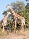 Giraffes de Thornicroft photographie stock libre de droits