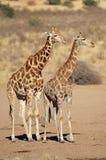 Giraffes in desert habitat Royalty Free Stock Photography