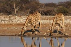 giraffes deux Image libre de droits