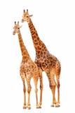 Giraffes dos pares Foto de Stock