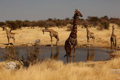 Giraffes at drinking pool. Giraffes standing at a drinking pool in etosha national park, namibia Royalty Free Stock Photo