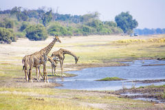 Giraffes Drinking from the River Stock Photos
