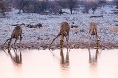 Giraffes drinking water Royalty Free Stock Image
