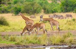 Giraffes Drinking Water- Kruger National Park Stock Photo