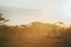 Giraffes at Dusk Royalty Free Stock Photography